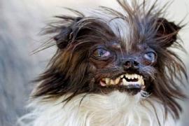 Os cachorros mais feios do mundo