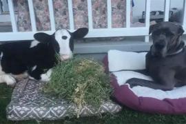 Filhote de vaca se comporta como cachorro