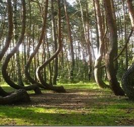 A misteriosa floresta de árvores tortas