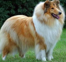 5 raças de cachorro mais fáceis de adestrar