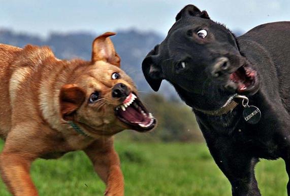 cães bravos