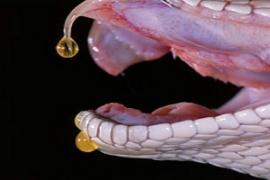 Os 5 piores venenos do mundo animal