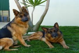 Os 4 cães mais perigosos