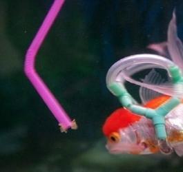 Dono cria incrível acessório para seu peixe deficiente